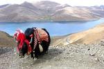 """""""China-Tibetan Yak"""" (China-Tibet)"""