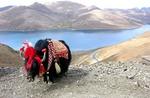 China-Tibetan Yak (China-Tibet)